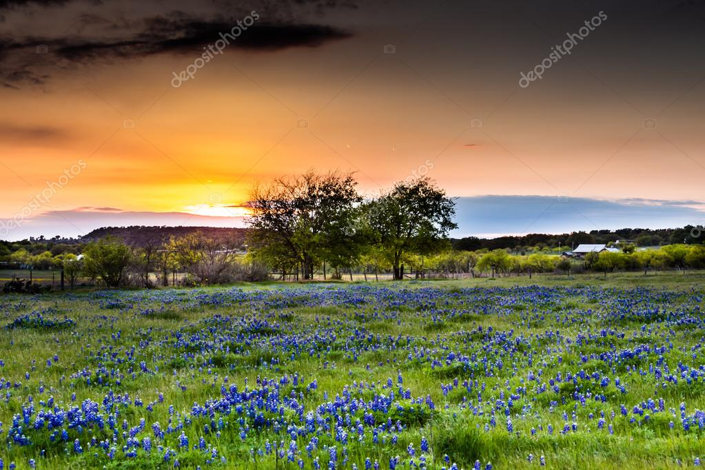Sunset in Field Full of Texas Wildflowers.