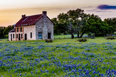 An Interesting Abandoned Old Rock Homestead in a Beautiful Field Loaded with the Famous Texas Bluebonnet (Lupinus texensis) Wildflowers at Sunset. stock vector