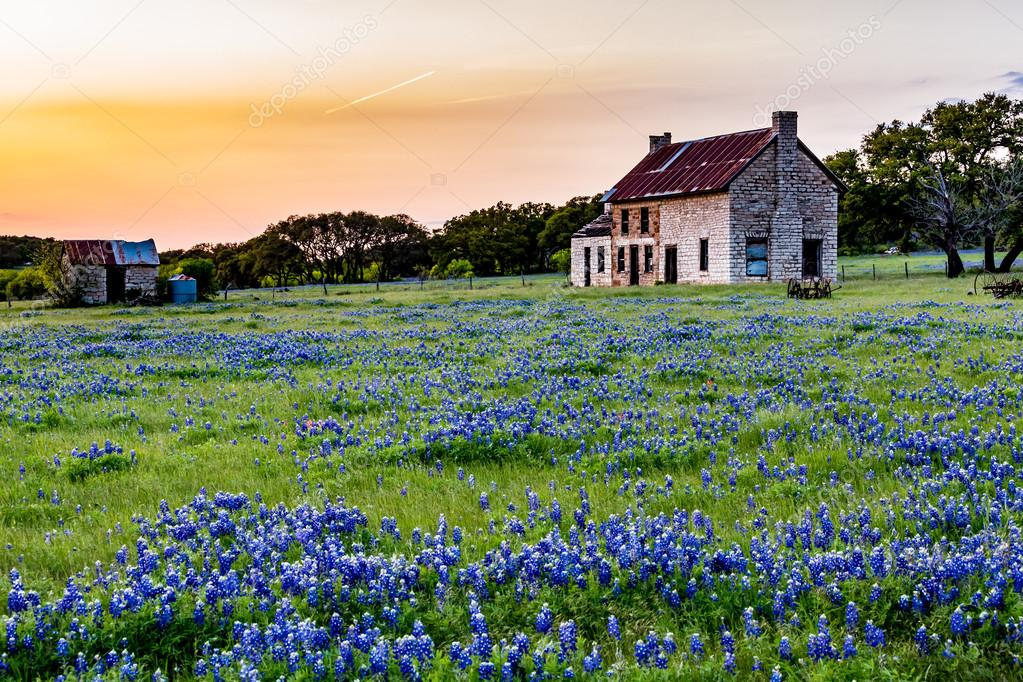 Abandoned Old House in Texas Wildflowers at Sunset.