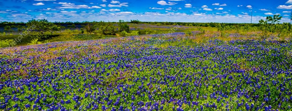 A Wide Angle View of a Beautiful Field of Texas Wildflowers.