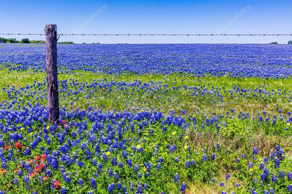 A Beautiful Rural Texas Field with a Variety of Texas Wildflowers, Including Bluebonnets.