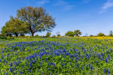 A Wide Angle View of a Beautiful Field Blanketed with the Famous Texas Bluebonnets.