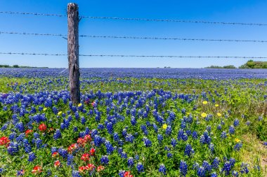 A Beautiful Field of Texas Wildflowers (Bluebonnets and others).