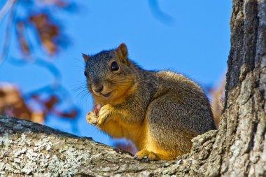 Brown Squirrel eating Nut in Tree.