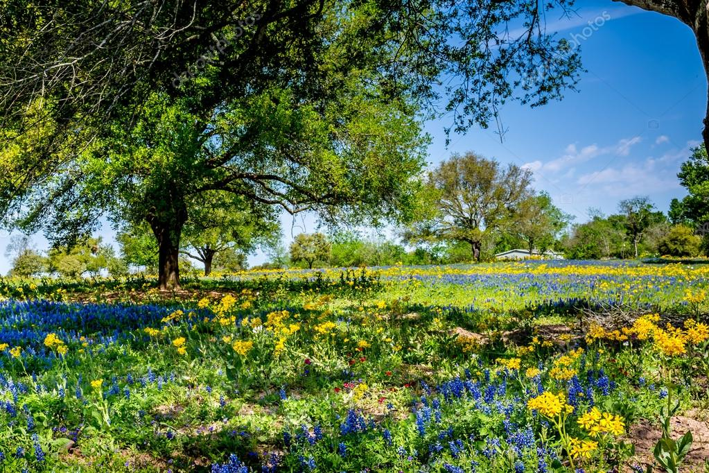 A Wide Angle View of a Beautiful Field with Texas Wildflowers.