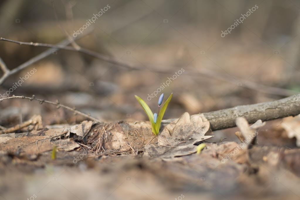 Первый росток цветы пролески — стоковое фото