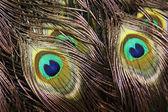 Fényképek Gyönyörű páva tollak