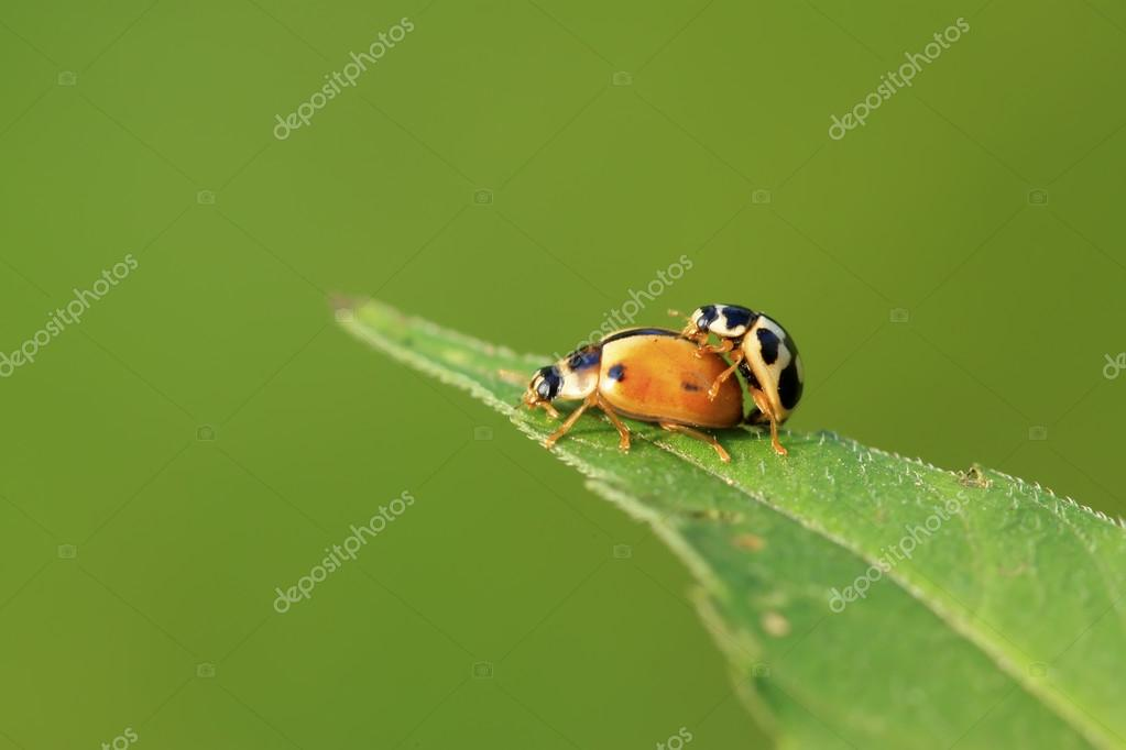 two ladybugs mating on green plant
