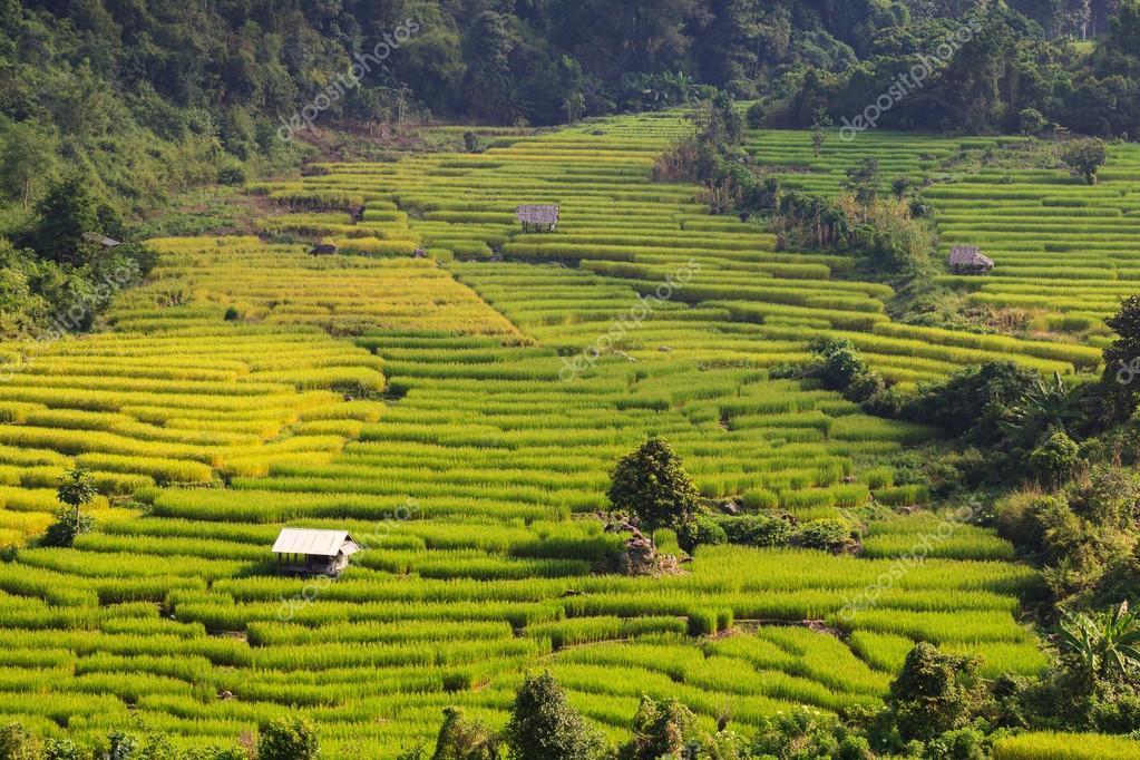 green terraced rice field at Ban Pa Bong Peay in Chiangmai, Thailand