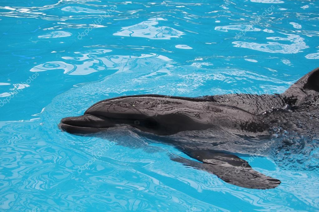 swiming gray dolphin