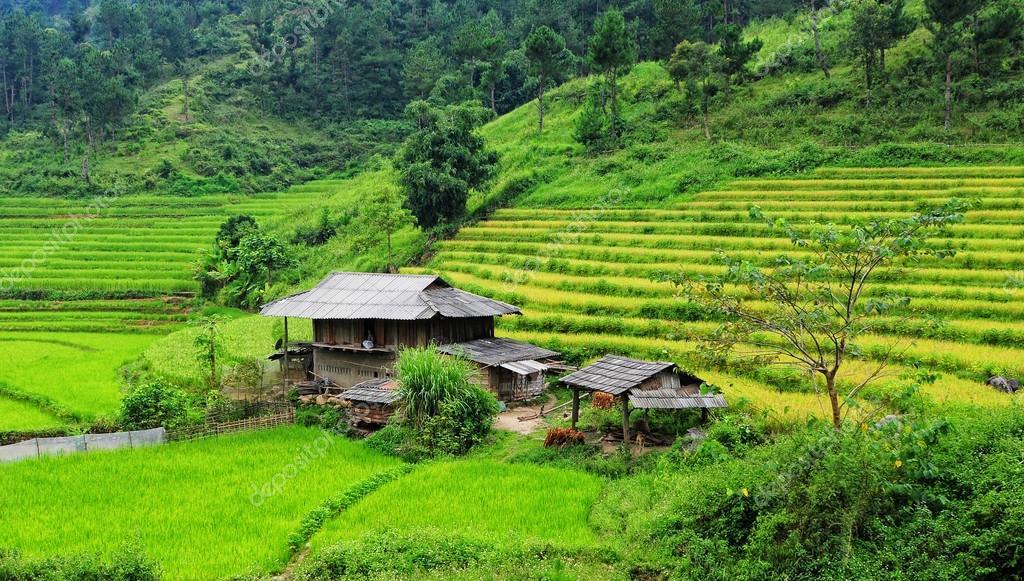 Rice fields on terraced in Vietnam