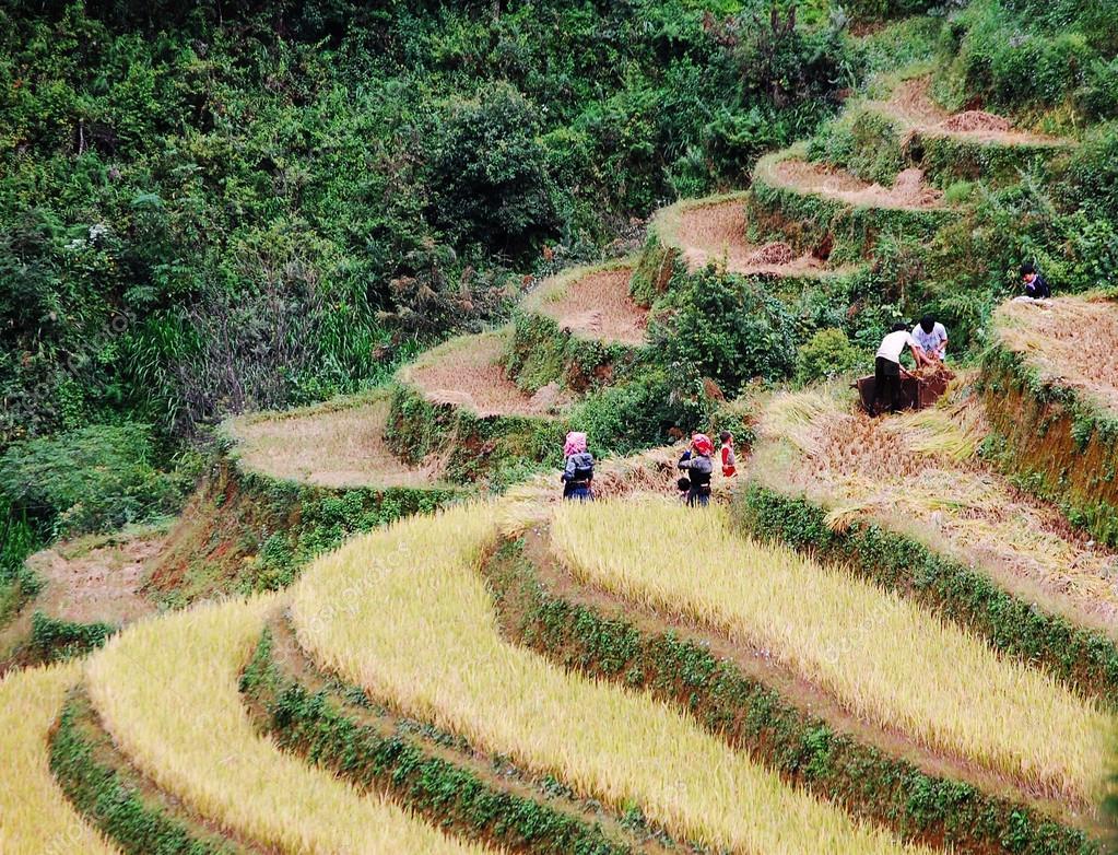 Los Agricultores De Asia Trabajando En Campos De Arroz En