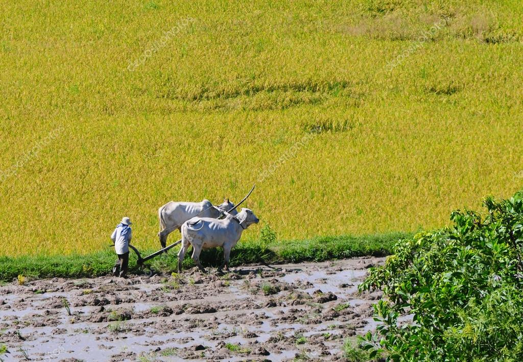 Farmer plows rice field in Mekong Delta