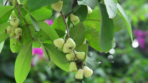 vodní jablko, chomphu, rose apple