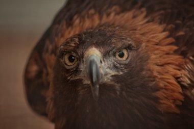 Golden eagle bird of prey raptor