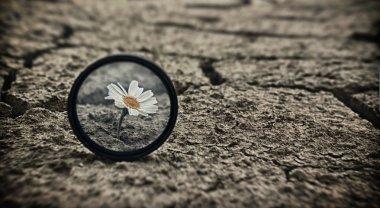 Cracked earth daisy flowers Survival