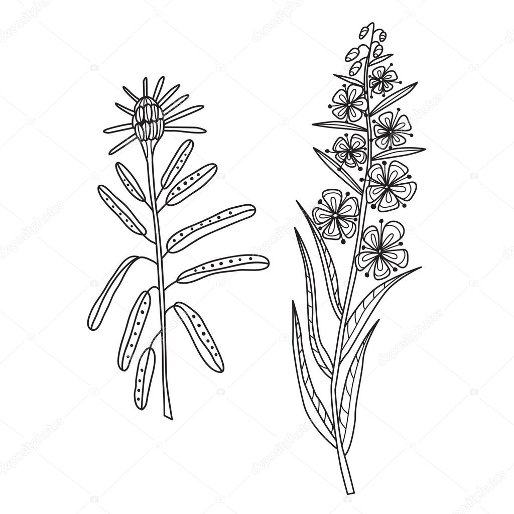 Zentangle the Baikal wildflowers: cyprus and rosemary