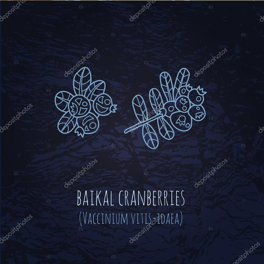 Baikal berries cranberries illustration in doodle style. Vector