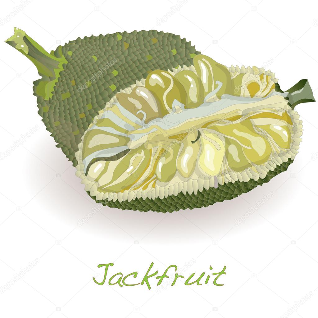 Jackfruit vector isolated