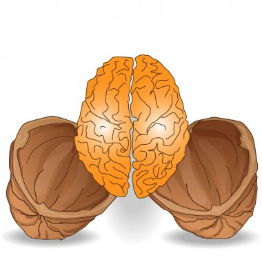 walnut brain illustration