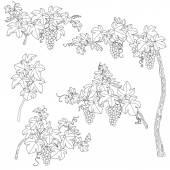 Fekete-fehér felvázolja a szőlő ágai