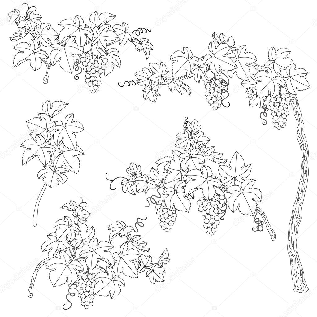 Black and white outlines branches of grape.