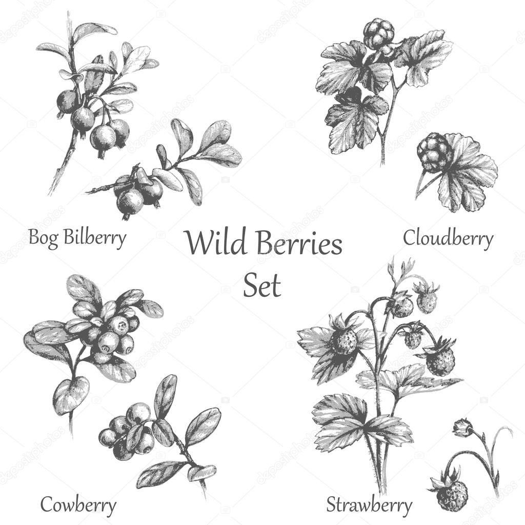 Hand Drawn  Wild Berries  Set