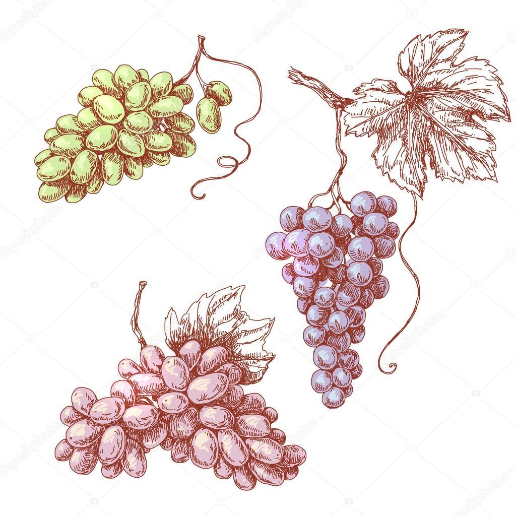 Dibujo coloreado de uva racimos — Archivo Imágenes Vectoriales ...