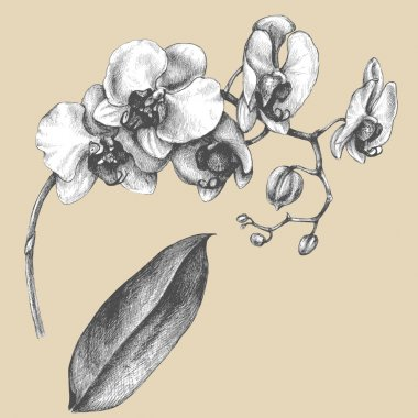 Branch of orchid with leaf.