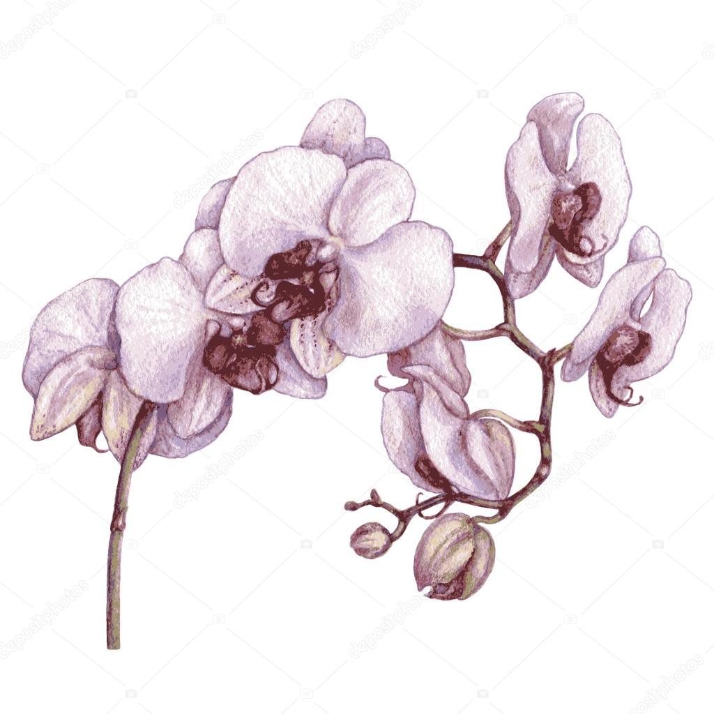 Watercolor branch of orchid.