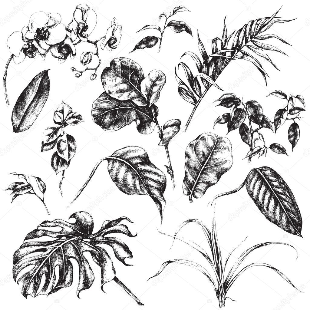 Set of tropical plant leaf.