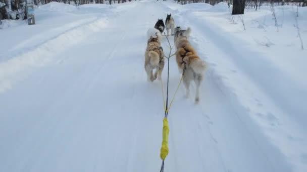 Husky-Schlittenfahrt am kalten Wintertag