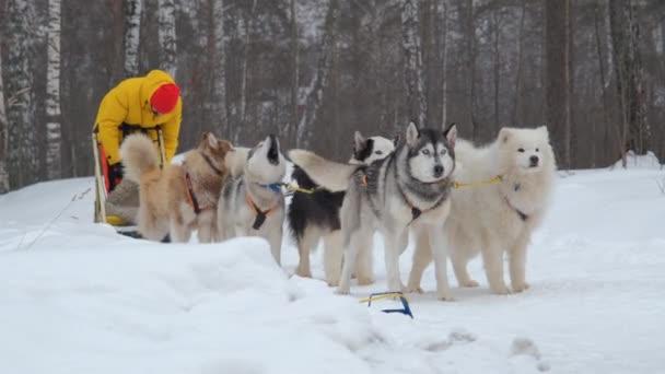 Man Musher se připravuje na psí spřežení v zimě