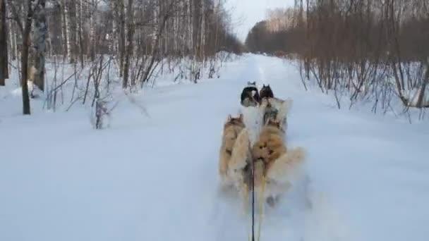 Első személy kilátás kutya Sledge télen