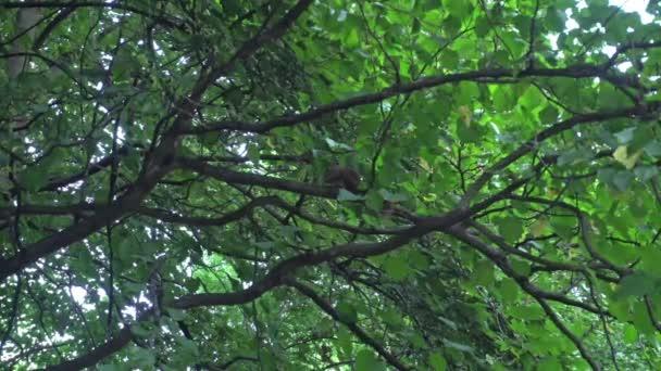 veverka na stromě jíst ořechy