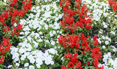 Flowerbed of red and white flowers