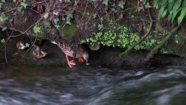 Kachna Kachňata plavat proti proudu
