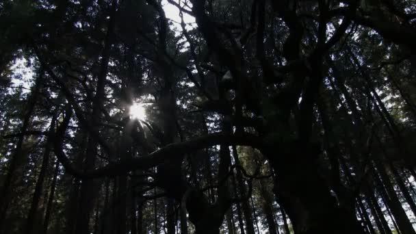 Sladký kaštanový strom v lese sitka smrk