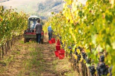 Autumn grape harvest in Tuscany, Italy
