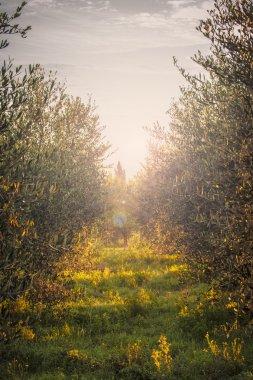 Olive trees in the light of rural sunrise.