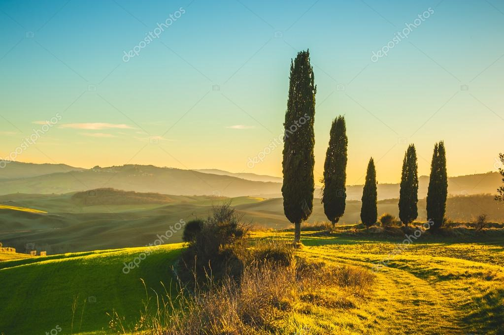 Cypresses in the light of the setting sunset over Tuscan fields.