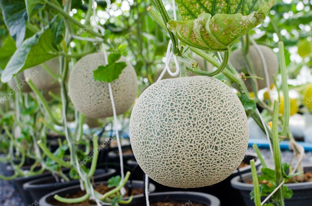 Cantaloupe Tree Melon Or Cantaloupe Fruit On Tree Stock Photo C Nop16 80336406 Cut fruits should be stored in an airtight container in the refrigerator for extended shelf life. https depositphotos com 80336406 stock photo melon or cantaloupe fruit on html