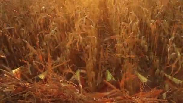 kombinovat sklizně kukuřice