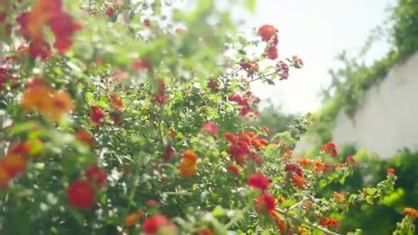 Akácie, kvetoucí na slunečný den