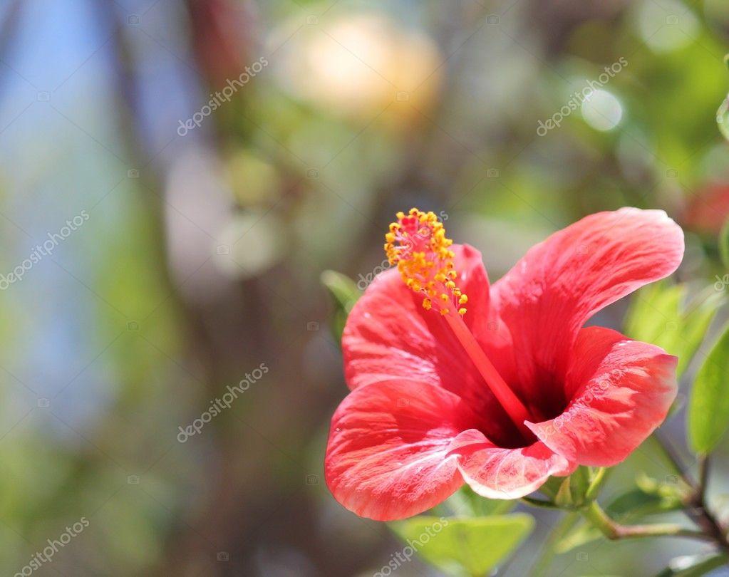 Hibiscus flower red with copy space stock photo cheekylorns2 hibiscus flower red with copy space stock photo izmirmasajfo