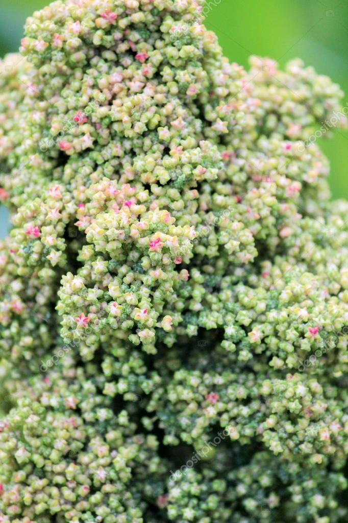 Quinoa superfood seeds crop grows at farm