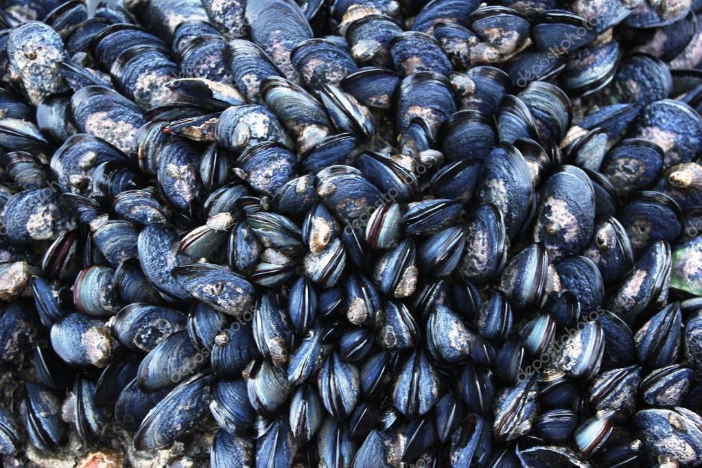 라이브 검은 홍합 배경 — 스톡 사진 © drcmarx #112845180