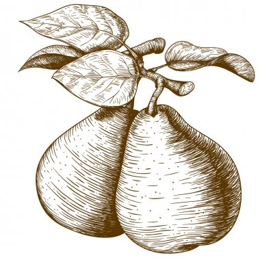 engraving pear and leaf on the branch