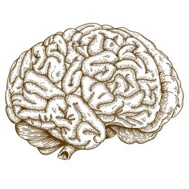 Engraving antique illustration brain