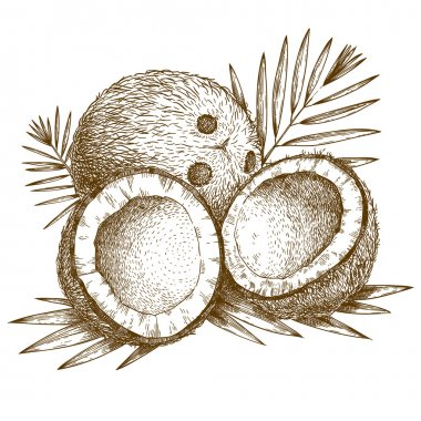 engraving  illustration of coconut and palm leaf